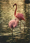 Flamants Roses, Flamingo in France